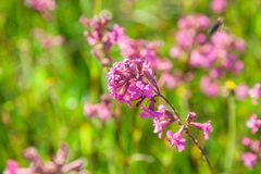 Pink flowers on a stalk royalty free stock photos