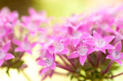 Pink flowers - Star Cluster Stock Image