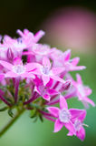 Pink flowers - Star Cluster Stock Photography