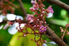 Pink flowers of the Star fruit. Stock Photo