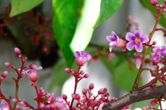 Pink flowers of the Star fruit. Royalty Free Stock Images