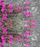 Pink flowers on the stone wall. Royalty Free Stock Photography