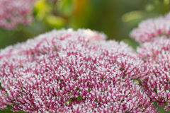 Pink flowers of stonecrop (Sedum) with ice and snow pieces. Autu Stock Photos