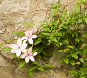 Pink flowers on stones Stock Image