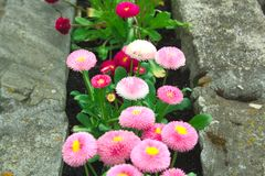 Pink flowers in the stones. Flowerbed Royalty Free Stock Photography