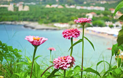 Pink flowers at Stoupa beach Peloponnese Greece royalty free stock image