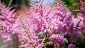 Pink flowers in the summer in the Apothecary garden. Close up stock footage