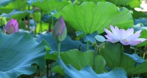 Pink lotus flowers on one stalk stock video