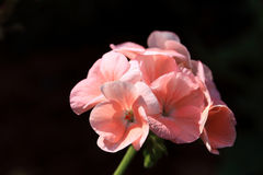 Pink flowers in sunlight with black background, shallow depth of Royalty Free Stock Photos