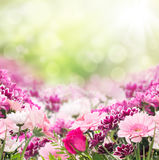 Pink flowers on sunny background, floral border Royalty Free Stock Photos