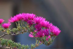 pink flowers in a sunny day. royalty free stock image