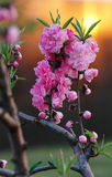 Pink flowers & sunset 1. Flowers with sunset behind Stock Photography