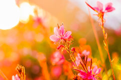 Pink Flowers On The Sunset Stock Images