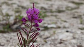 Flowers growing among rocks. Pink flowers surrounded by rocks stock video footage