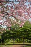 Tabebuia rosea blossom Stock Photo