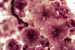 Pink flowers. Taken in Hyde Park in 2012 Stock Photography