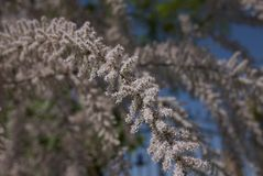 Pink flowers of Tamarix gallica tree. Branches of Tamarix gallica tree Royalty Free Stock Photos