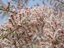 Tamarix gallica branch in bloom royalty free stock photography
