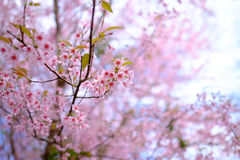 Pink Flowers  at Thailand Stock Photos
