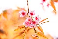 Pink flowers in thailand, Prunus cerasoides,  Rosaceae, Prunus,. Wild himalayan cherry in thailand Stock Images
