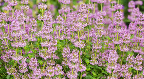 Pink flowers of thyme creeping on the flowerbed. Lit by the sun Stock Photography