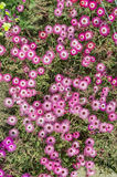 Pink flowers top view Royalty Free Stock Photography
