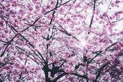 Pink Flowers Tree Royalty Free Stock Photos