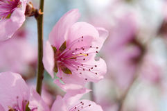 Pink flowers on a tree Royalty Free Stock Photo