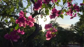 Pink Flowers on the Tree Against Sun and Blue Sky in the Park. Slowmotion Floral HD Background. stock footage