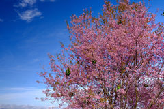 Pink Flowers Tree with Blue Sky at Thailand. Pink Flowers Tree  with Blue Sky Royalty Free Stock Images
