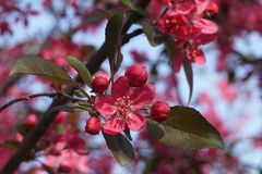 Pink flowers on a tree branch in bloom. Detail of a bunch of spectacular pink flowers on a tree branch in bloom, in spring, with dark green leaves, blue sky in Stock Photos