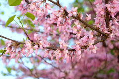Pink flowers on tree branch. Blooming close up Royalty Free Stock Photography