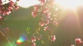 Pink flowers on tree branches, spring blossom, early morning sun rays