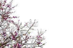 Pink flowers and tree branches on white background with copy space Royalty Free Stock Photos