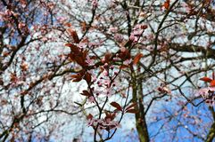 Pink flowers in a tree Royalty Free Stock Photos