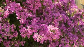 Pink Flowers On A Tree. This is close up footage of a big cluster of colourful flowers hanging from a tree. Beautiful nature shot in a park. Looked like bells stock video