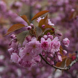 Pink flowers on a tree. The photo shows the flowering tree Royalty Free Stock Photography