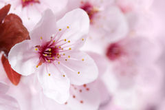 Pink flowers of a tree. Pink spring flowers of a tree in sunlight Stock Image