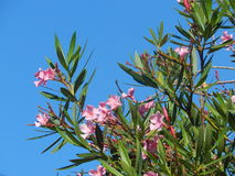 Pink Flowers tree top. Against the blue sky Stock Image Stock Photo