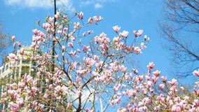 Pink flowers tree waving in New York City USA America. Pink flowers tree waving in New York City USA or America stock footage