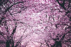 Pink Flowers On Trees Royalty Free Stock Image