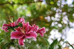 Pink flowers. Pink tropical flowers from Thailand Royalty Free Stock Photography
