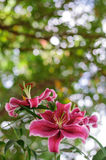 Pink flowers. Pink tropical flowers from Thailand Stock Photos