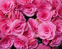 Pink flowers of tuberous begonias Royalty Free Stock Image