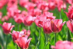 Pink flowers tulips blossom Royalty Free Stock Image