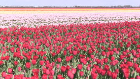 Pink flowers and tulips in The Netherlands. Pink flowers and red tulips in a field near The Keukenhof in The Netherlands stock video footage