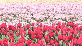 Pink flowers and tulips in The Netherlands. Pink flowers and red tulips in a field near The Keukenhof in The Netherlands stock video