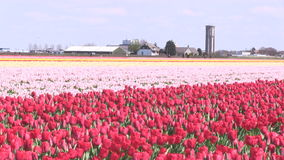 Pink flowers and tulips in The Netherlands. Pink flowers and red tulips in a field near The Keukenhof in The Netherlands stock footage