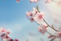 Pink flowers on a twig of a flowering tree spring background. Beautiful Pink Flower Blossom on White stock photos