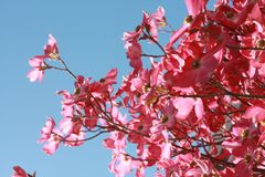 Pink Flowers Under Blue Clear Sky Royalty Free Stock Image